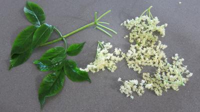 Beignets aux fleurs de sureau - 1.2