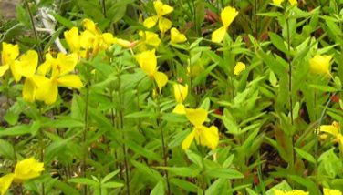 Photo : Oenothera biennis
