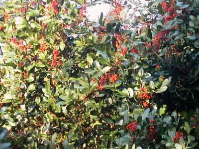 Baies roses arbre