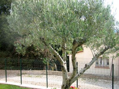 Photo : L'arbre l'olivier