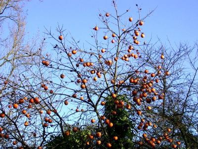 Photo : Le plaqueminier et ses fruits les kakis