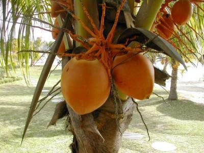 Noix de coco sur son cocotier