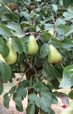 Photo : Poirier et ses fruits