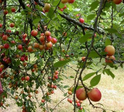 Photo : Les prunes sur un prunier
