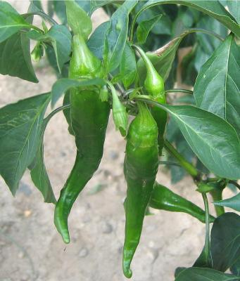 Photo : Piments