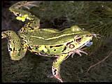 grenouille esculenta