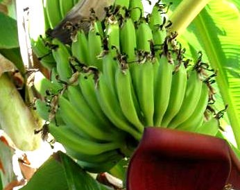 Photo : Bananes et bananier