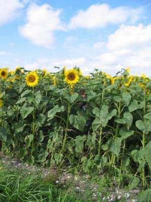 Photo : Champs de tournesols