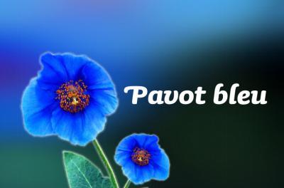Photo : Pavot