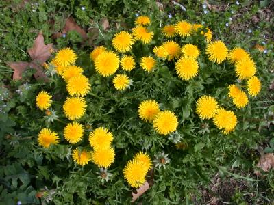 Photo : Le pissenlit en fleur