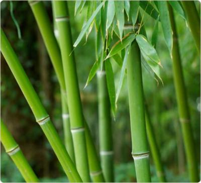 pousse de bambou fiche pousse de bambou et recettes de pousse de bambou sur supertoinette. Black Bedroom Furniture Sets. Home Design Ideas