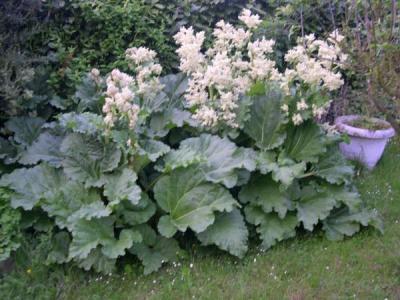 Photo : Plant de rhubarbe