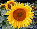 fleur de tournesel